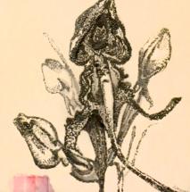 """Виргиния Пенчева, """"Дива Орхидея"""""""